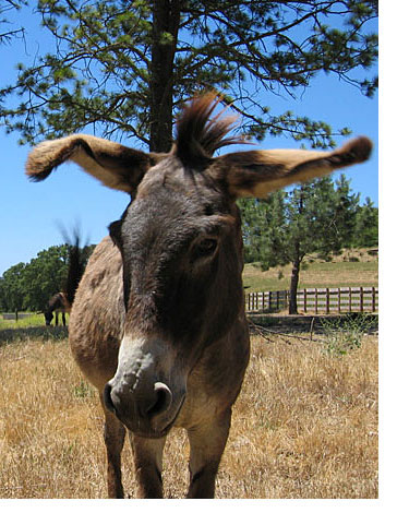Donkey in California