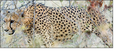 Cheetah on the Jubatus Reserve in South Africa